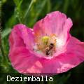 Mohnblume mit Biene